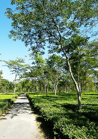 Assam | Goodricke